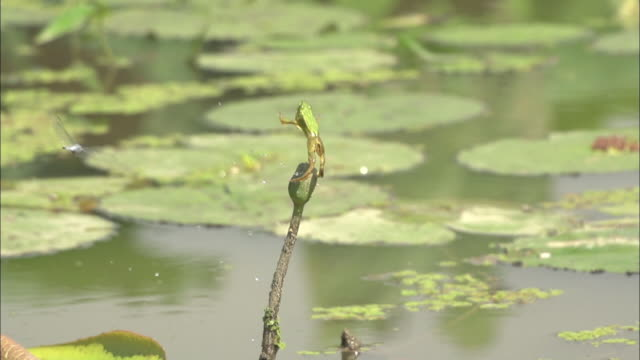 shot of frog fail to catch a dragonfly - fallimento video stock e b–roll