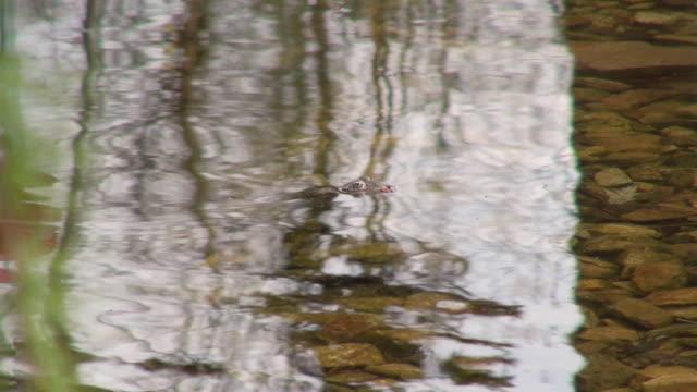 cu shot of frog in waves on pond / saarburg, rhineland-palatinate, germany - saarburg stock-videos und b-roll-filmmaterial