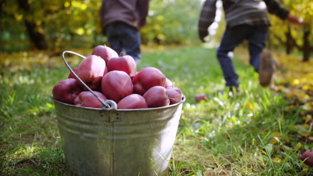 ms tu slo mo shot of full bucket of bright red apples is topped off with more fruit by two little boys and then running happily into distance / hood river, oregon, united states - apple fruit stock videos and b-roll footage