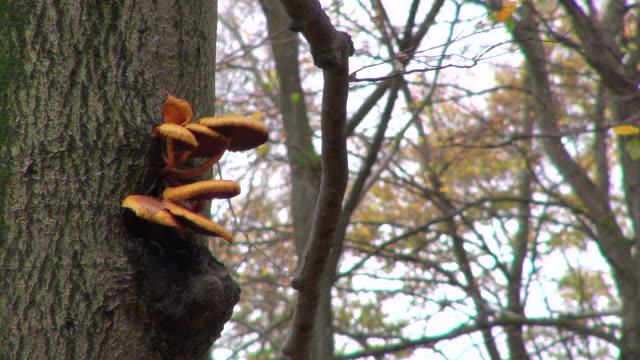 ms shot of funcal infestation on tree in woodland / freudenburg, rhineland palatinate, germany - infestation stock-videos und b-roll-filmmaterial