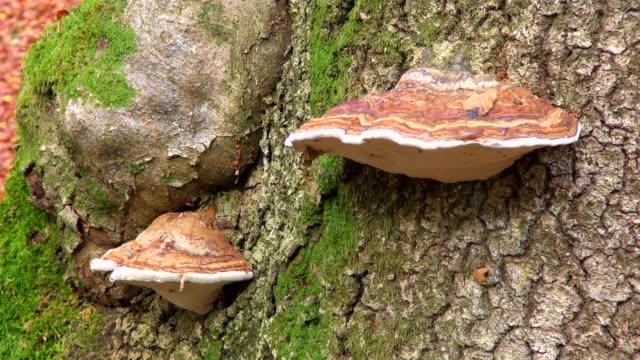 cu shot of funcal infestation on tree in woodland / freudenburg, rhineland palatinate, germany - infestation stock-videos und b-roll-filmmaterial