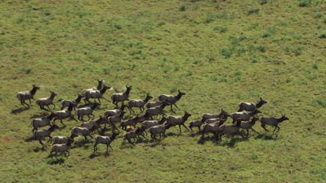 ms zi ts aerial shot of gang of elk running on green mountainside and moisture breath from mouths of elk while running / colorado, united states - rothirsch stock-videos und b-roll-filmmaterial