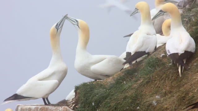 stockvideo's en b-roll-footage met ms shot of gannets in nesting colony audio / st brides, newfoundland, canada - dierlijk gedrag