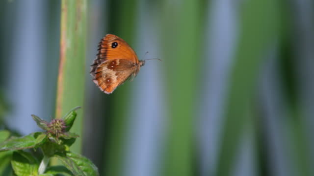 CU SLO MO Shot of Gatekeeper Butterfly, pyronia tithonus, adult in flight / Calvados, Normandy, France