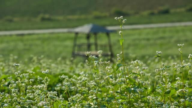 shot of gazebo in buckwheat flower field at hagwonnongjang farm in gochang - gazebo stock videos and b-roll footage
