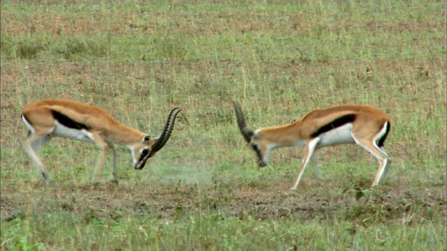 Shot of Gazelles fighting each other