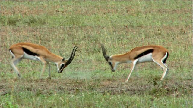 shot of gazelles fighting each other - antilope stock-videos und b-roll-filmmaterial