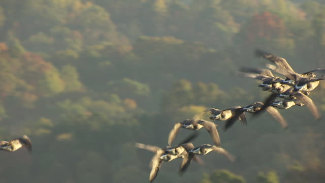 ms ts aerial shot of geese flying over hocking hills during sunrise / ohio, united states - ohio stock videos & royalty-free footage