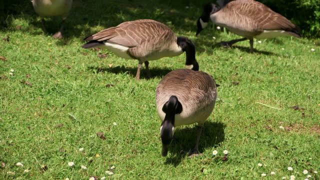 stockvideo's en b-roll-footage met ms shot of geese / weiskirchen, saarland, germany - vier dieren