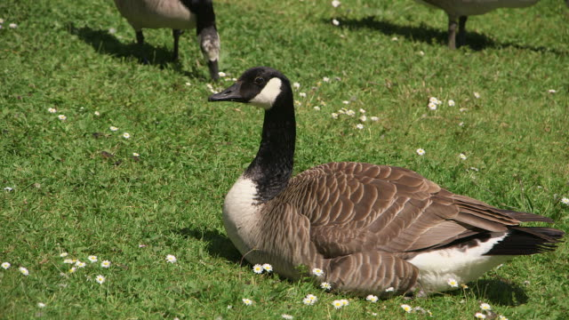 cu shot of geese / weiskirchen, saarland, germany - oca uccello d'acqua dolce video stock e b–roll