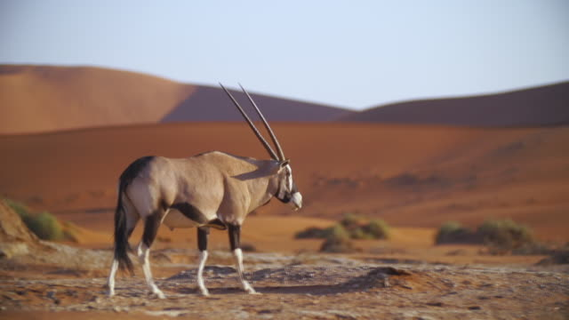 stockvideo's en b-roll-footage met ms ts shot of gemsbok walking in desert / etosha national park, namibia  - namibië