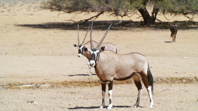ms shot of gemsboks in dry land / etosha national park, namibia - kleine gruppe von tieren stock-videos und b-roll-filmmaterial
