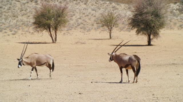 ms ts shot of gemsboks walking across dry land / etosha national park, namibia - kleine gruppe von tieren stock-videos und b-roll-filmmaterial