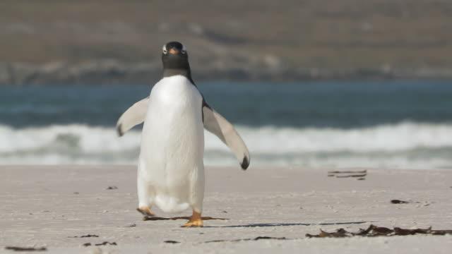 vídeos y material grabado en eventos de stock de ms ts td shot of gentoo penguin pygoscelis papua running on beach / volunteer point, falkland islands - pingüino