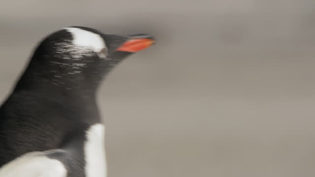 ms ts shot of gentoo penguin pygoscelis papua walking / volunteer point, falkland islands - small group of animals stock videos & royalty-free footage