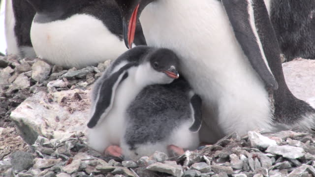 cu shot of gentoo penguin (pygoscelis papua) two young chicks in nest, one chick defecating / antarctica - penguin stock videos & royalty-free footage