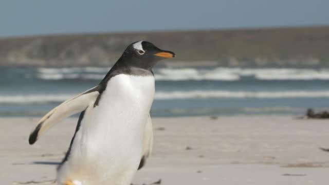 vídeos y material grabado en eventos de stock de ms ts shot of gentoo penguins pygoscelis papua walking on beach near sea / volunteer point, falkland islands - grupo pequeño de animales