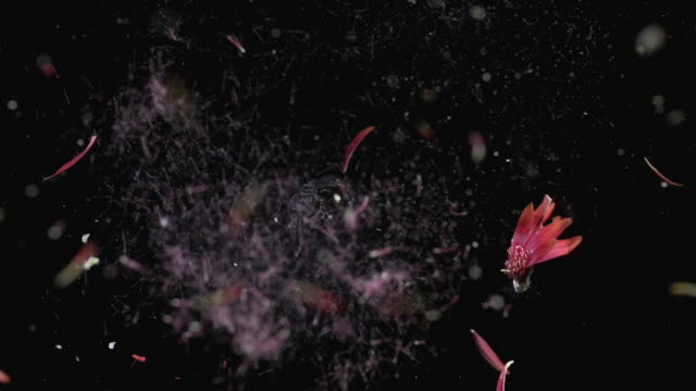 vidéos et rushes de cu slo mo shot of gerbera that explodes and is torn to pieces / munich, bavaria, germany - tirer