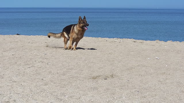 MS TS SLO MO Shot of German Shepherd, male dog catching frisbee at beach / Normandy, France