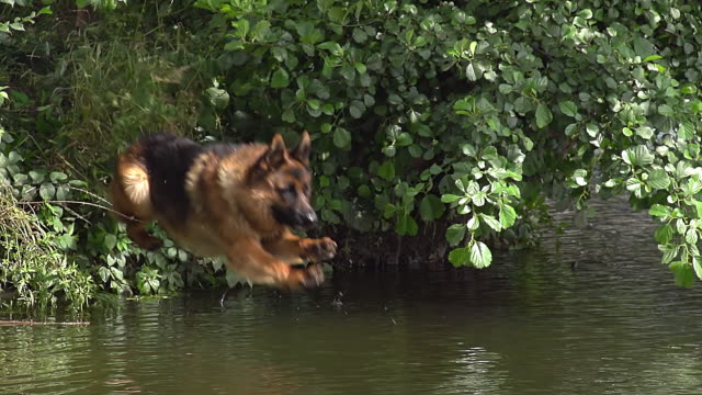 MS SLO MO Shot of German Shepherd, male dog Leaping into River / Normandy, France