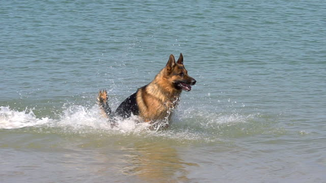 MS TS SLO MO Shot of German Shepherd, male dog running through waves at beach / Normandy, France