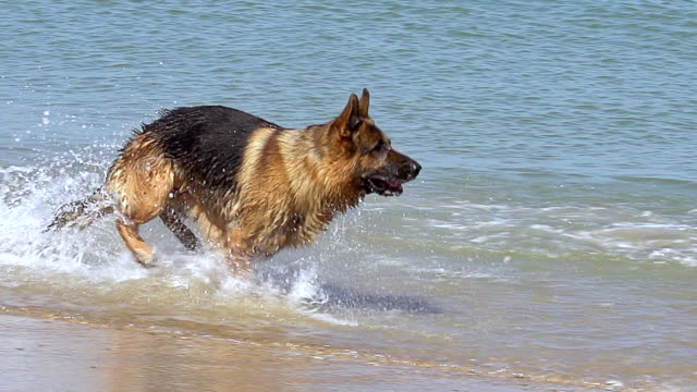 MS TS SLO MO Shot of German Shepherd male running through waves at beach / Normandy, France, Europe