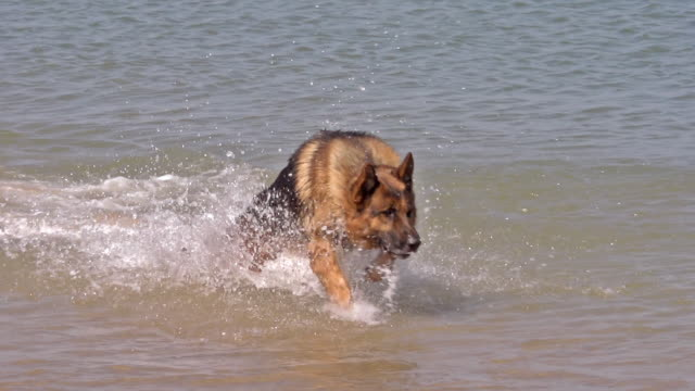 MS SLO MO Shot of German shepherd, male running through waves, beach / Calvados, Normandy, France