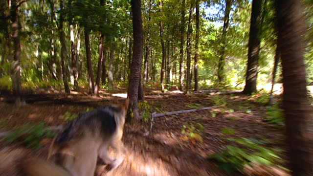 MS TS Shot of german shepherd searching through woods / United States