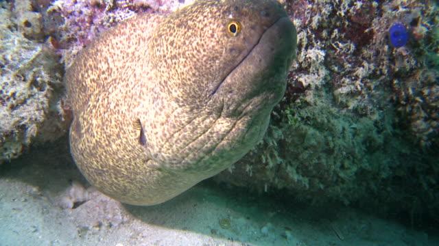 cu shot of giant moray eel / mabul, sabah, malaysia   - moray eel stock videos and b-roll footage