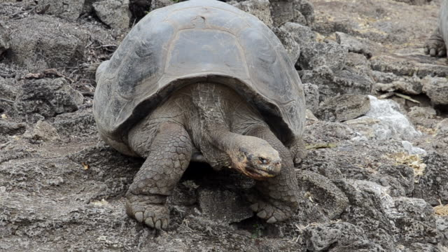 ms shot of giant tortoises walking on rock / santa cruz, galapagos islands, ecuador     - landschildkröte stock-videos und b-roll-filmmaterial