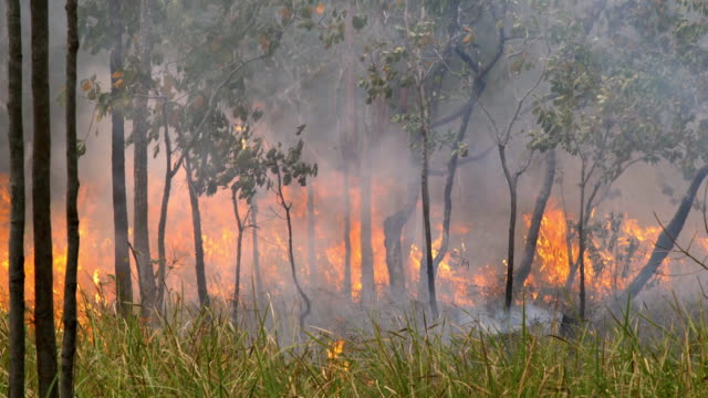 Shot of gigantic trees burning with fire in Papua