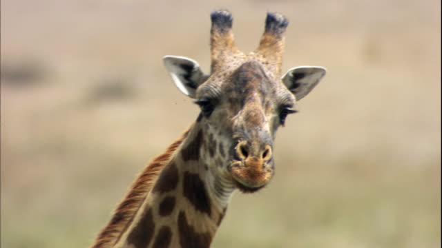 shot of giraffe at serengeti national park - giraffe stock videos & royalty-free footage