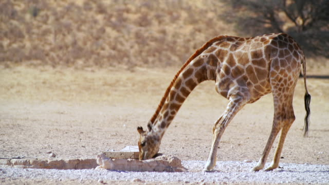MS TS Shot of Giraffe drinking water from water hole / Etosha National Park, Namibia