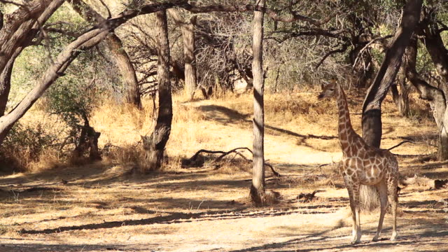 MS Shot of giraffe standing in middle of bushes / Etosha, Ombika, Namibia