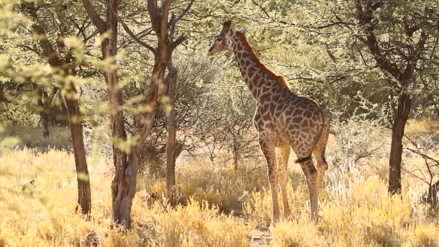 MS Shot of giraffe standing in middle of bushes in morning light / Etosha, Ombika, Namibia