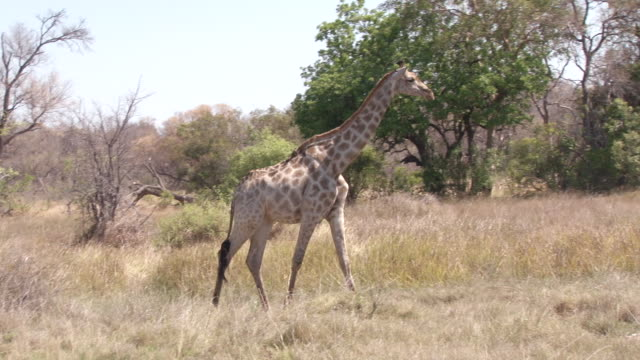 ms ts shot of giraffe walking from left to right near trees / ghanzi district, ghanzi district, botswana - wiese stock videos & royalty-free footage