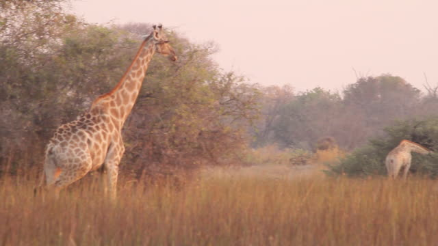 stockvideo's en b-roll-footage met ms ts shot of giraffe walking to other giraffes left to right / ghanzi district, ghanzi district, botswana - wiese
