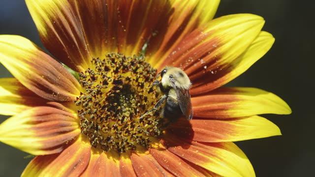 vídeos de stock, filmes e b-roll de cu shot of golden northern bumblebee (bombus fervidus) feeding on multi colored sunflower / valparaiso, indiana, united states - mangangá