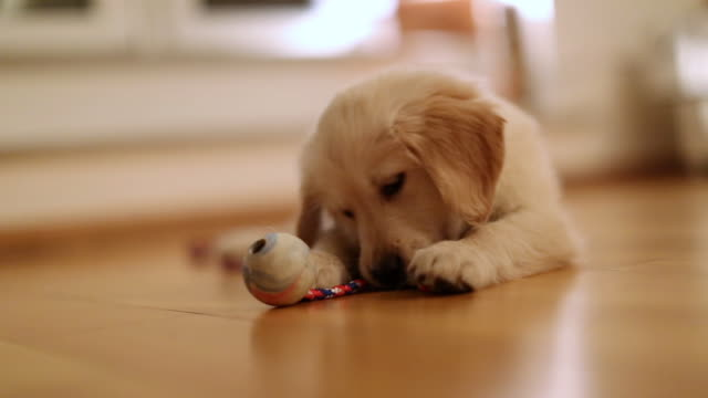 ms shot of golden retriever puppy laying on the floor playing with toy / duisburg, germany - golden retriever stock videos and b-roll footage