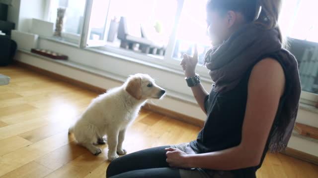 stockvideo's en b-roll-footage met ms shot of golden retriever puppy learning some tricks / duisburg, germany - dierentrucs