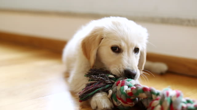 MS Shot of golden retriever puppy plays with piece of rope / Duisburg, Germany