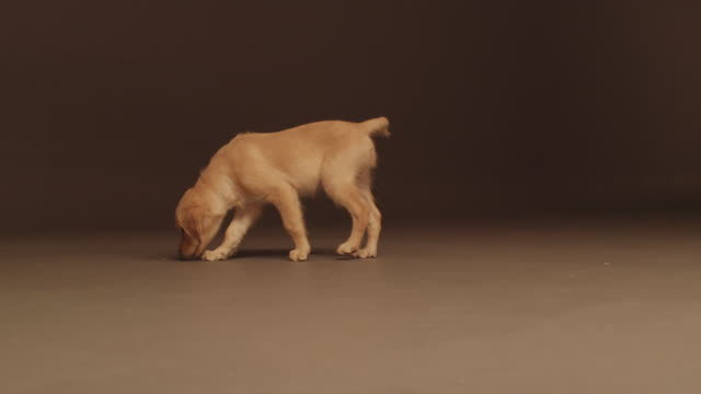 MS TS SLO MO Shot of Golden retriever puppy walking and sniffing floor / Shepperton, Middlesex, United Kingdom