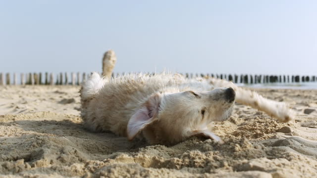 MS Shot of golden retriever rolls in the sand at a beach and then shakes himself / Duisburg, Germany