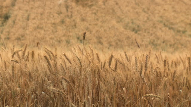 ms shot of golden ripe tops of wheat field in plain / kedma, judean foothills, israel  - wheat stock videos & royalty-free footage