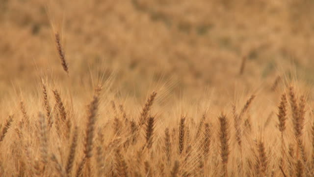 cu shot of golden ripe tops of wheat field in plain moving on wind / kedma, judean foothills, israel  - weizen stock-videos und b-roll-filmmaterial