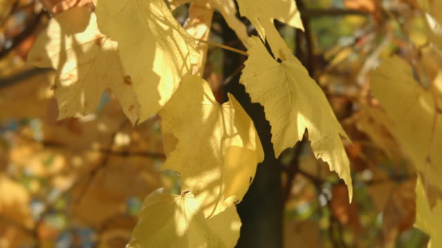 cu shot of grape leaves in autumn - grape leaf stock videos and b-roll footage