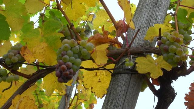 vídeos de stock e filmes b-roll de cu shot of grapes in vineyard at saar valley / serrig, rhineland palatinate, germany - ramo parte de uma planta