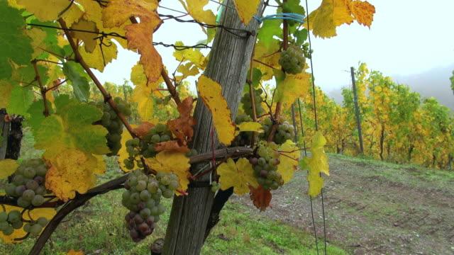 vídeos de stock e filmes b-roll de ms shot of grapes in vineyard at saar valley / serrig, rhineland palatinate, germany - ramo parte de uma planta
