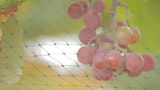 vidéos et rushes de shot of grapes on the vine with drops of water on them. - raisin noir