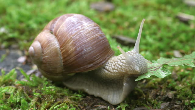 ecu shot of grapewine snail eating common dandelion leaf (helix pomatia) / kastel-staadt, rhineland-palatinate, germany - snail stock videos & royalty-free footage